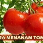 Cara Menanam Tomat Yang Efektif