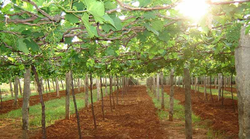 Persiapan Lokasi Tempat Penanaman Buah Anggur