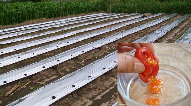 Pemilihan Bibit Tomat