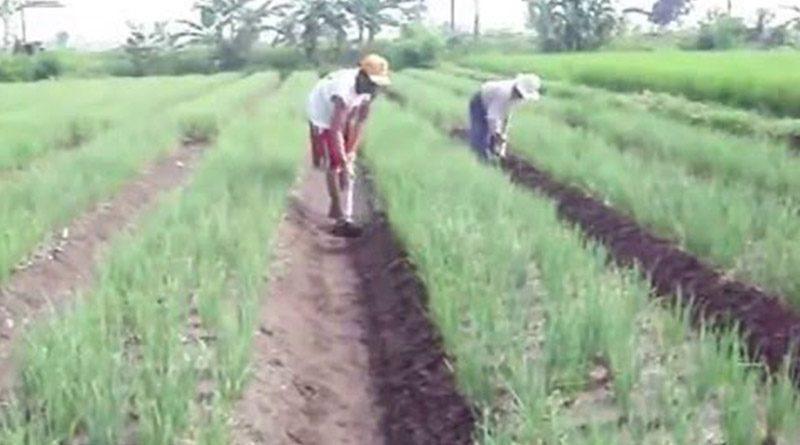 Pemanenan Tanaman Bawang Merah
