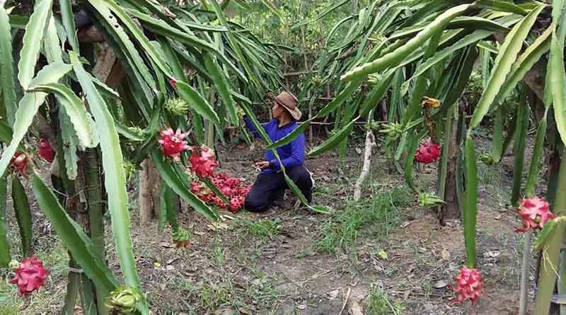 Pemanenan Tanaman Buah Naga