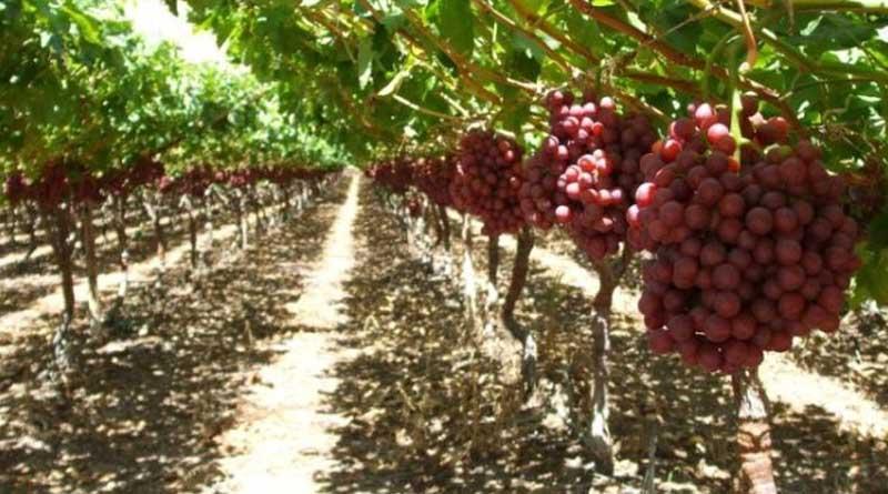 Perawatan Tanaman Buah Anggur