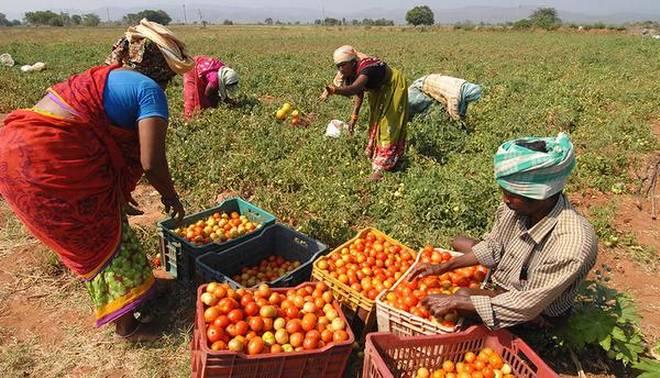Pemanenan Tanaman Tomat