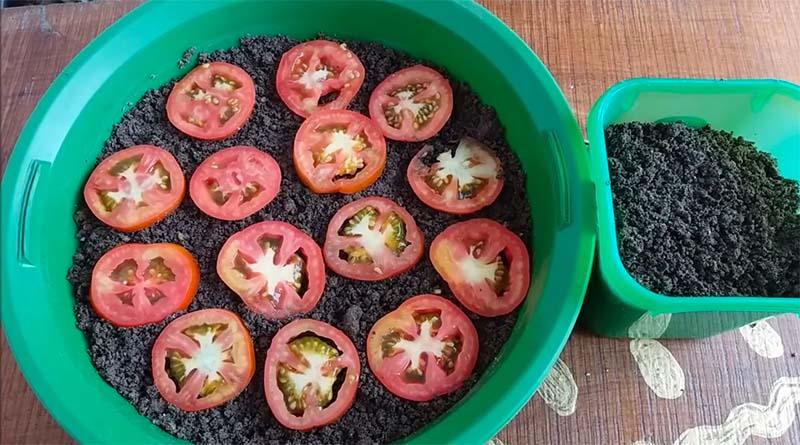 penyemaian tomat