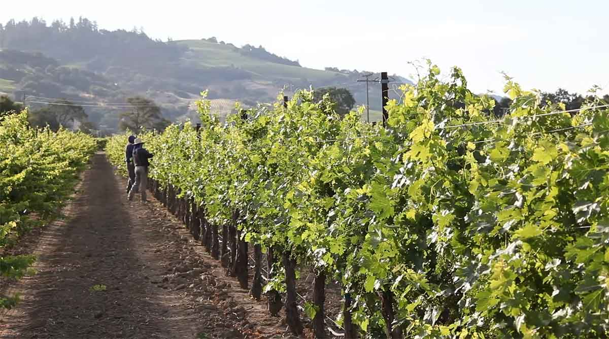 penanaman-anggur