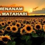 Cara Menanam Bunga Matahari Yang Sebenarnya