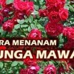 Cara Benar Menanam Bunga Mawar