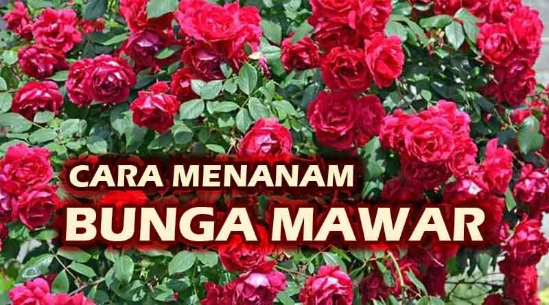 Cara Benar Menanam Bunga Mawar Kutanam