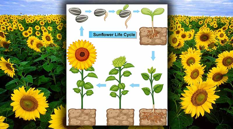 siklus bunga matahari