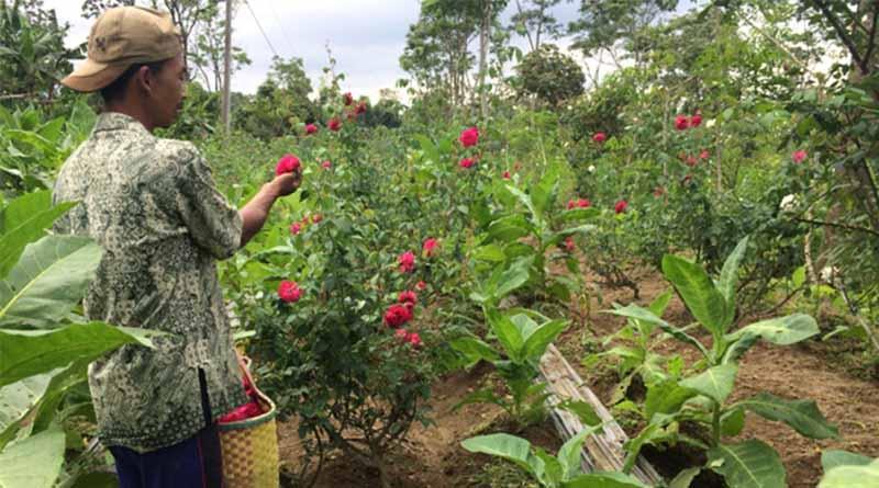 Persiapkan Lokasi Media Tanam Tanaman Bunga Mawar