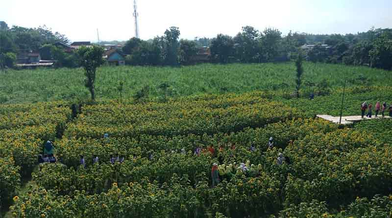 Penentuan Lokasi Penanaman Tanaman Bunga Matahari