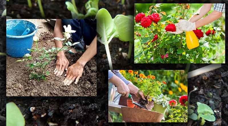 Penanaman dan Perawatan Tanaman Bunga Mawar