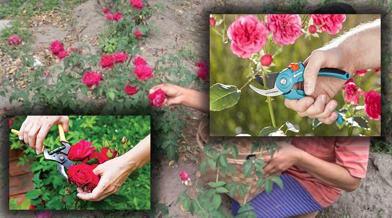 Proses Pemanenan Tanaman Bunga Mawar