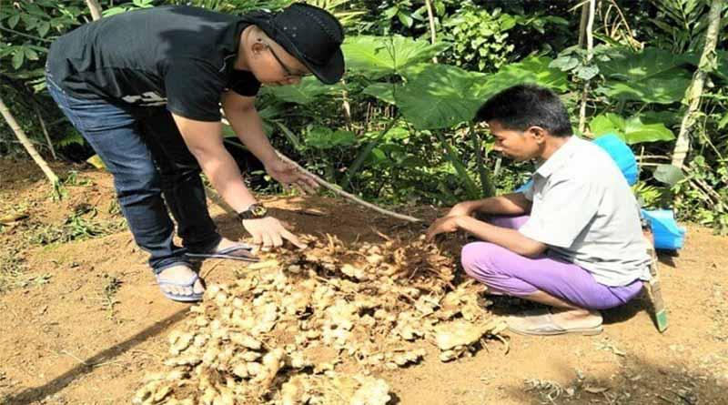 Pemanenan Tanaman Jahe
