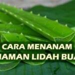 CARA MENANAM LIDAH BUAYA