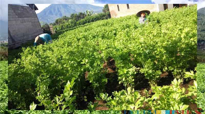 Langkah Pertama: Penentuan Lokasi Penanaman Tanaman Seledri