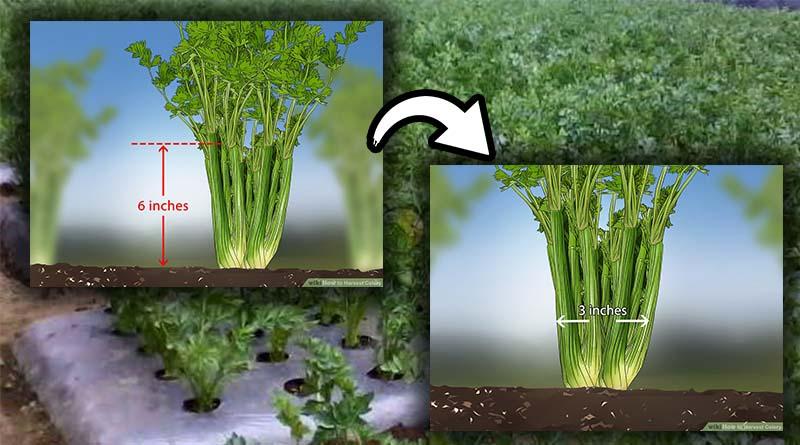 tanaman seledri sudah siap untuk di panen kembali