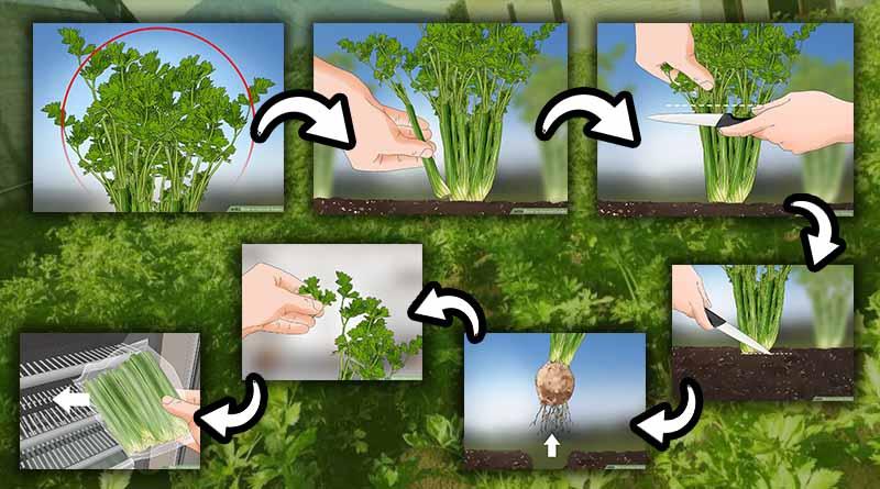 memperhatikan anakan tanaman seledri yang tumbuh di bawah pohon seledri pada bagian bawah