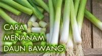 cara menanam daun bawang