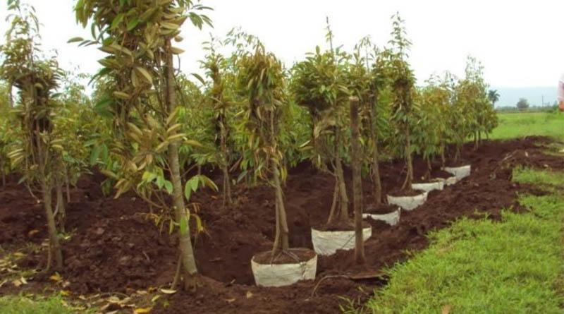 lokasi tanam durian