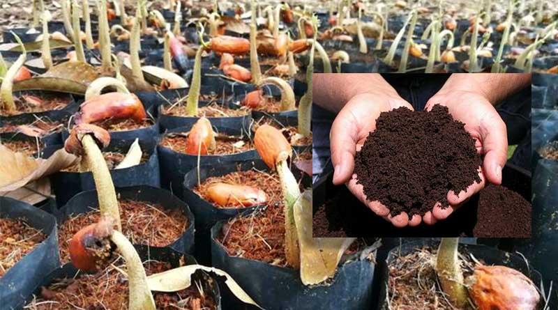 Persiapan dan Penanaman Bibit Tanaman Buah Durian