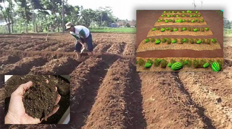 pengolahan tanah semangka