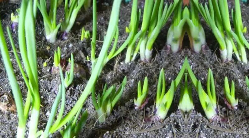 tunas daun bawang