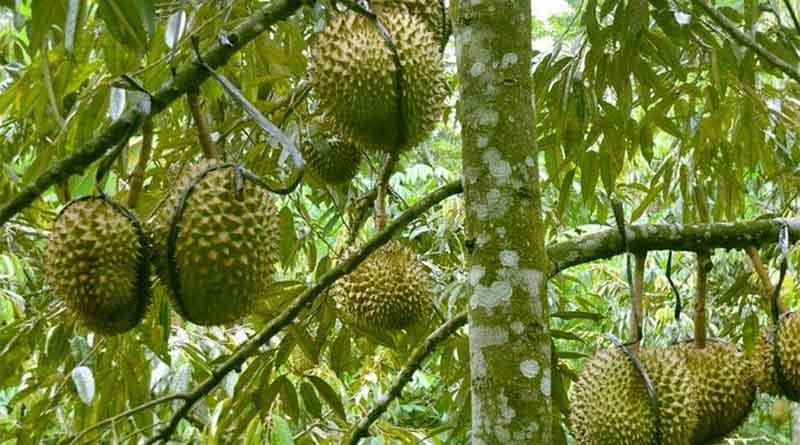 Pemanenan Tanaman Buah Durian