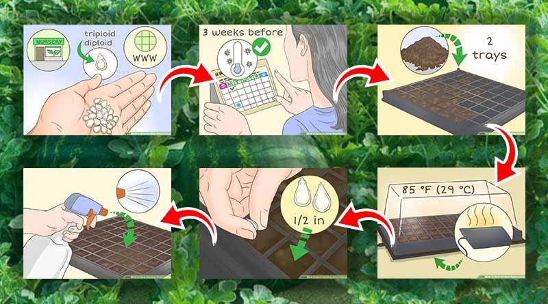 Langkah Ketiga : Pembibitan Tanaman Buah Semangka