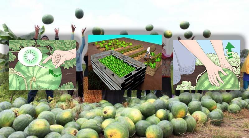 Langkah Keenam : Proses Pemanenan Tanaman Semangka