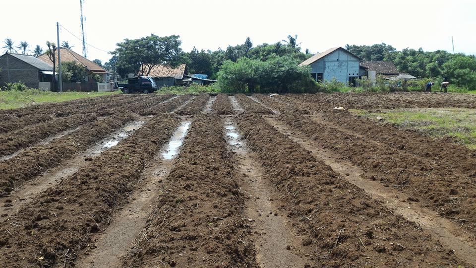 cara mempersiapkan lahan untuk menanam kacang hijau