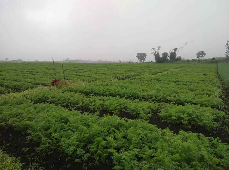 cara menanam wortel - Syarat Tumbuh Wortel