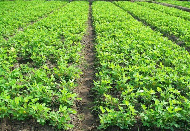 Syarat Tanam dan cara menanam kacang tanah