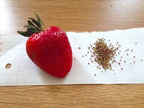 Memilih Bibit Strawberry