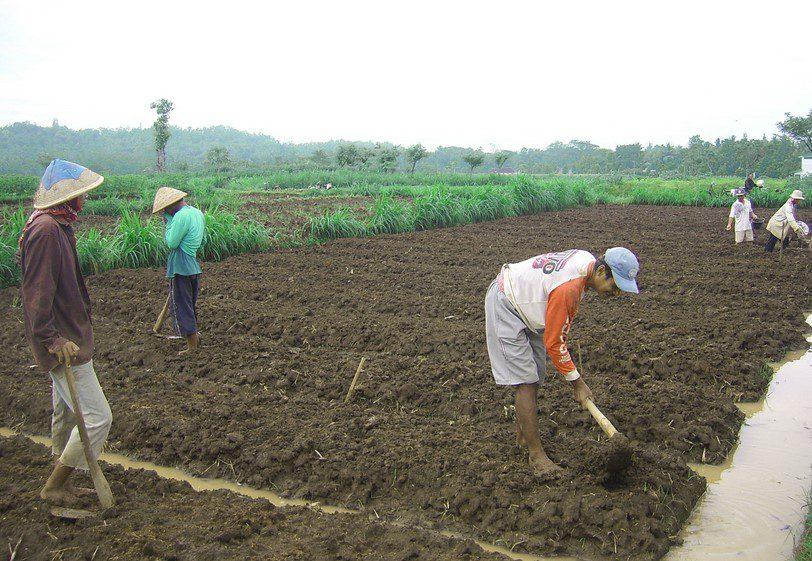 cara mempersiapkan lahan untuk menanam kemangi