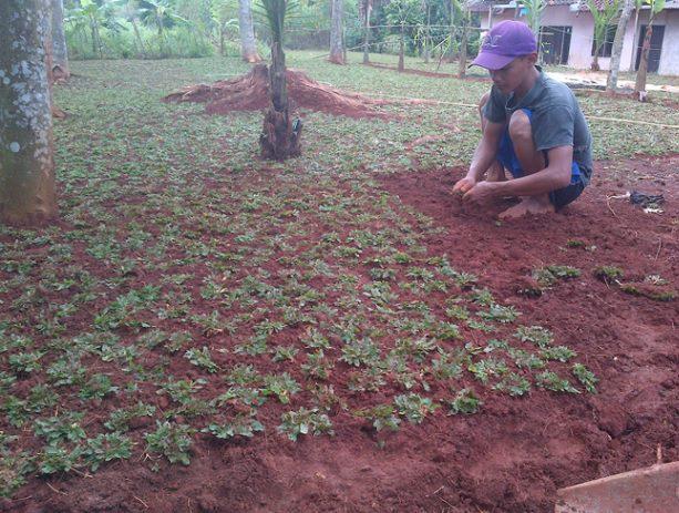 Proses tanam rumput gajah mini