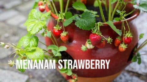 Menanam strawberry didalam pot