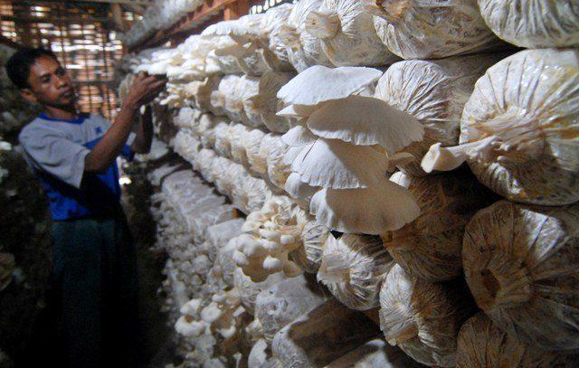 cara melakukan budidaya jamur tiram