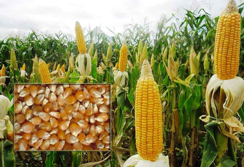 cara menanam jagung - Gunakan Bibit Jagung Berkualitas