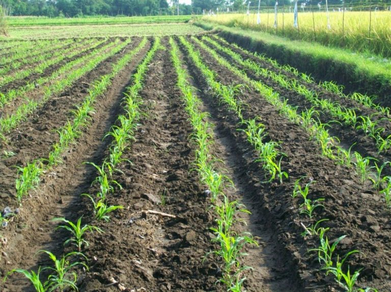 cara menanam jagung - Proses Penanaman