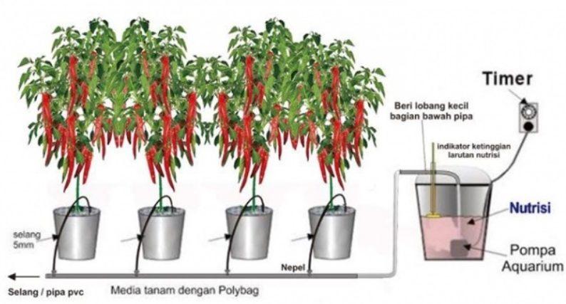 cara menanam cabe hidroponik dan pemenuhan nutrisi