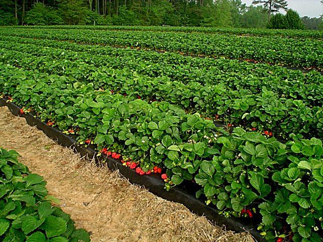 cara menanam strawberry di lahan