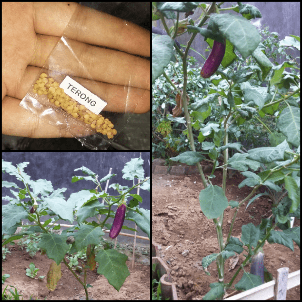 cara menanam terong di halaman rumah