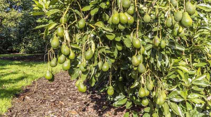 pohon alpukat