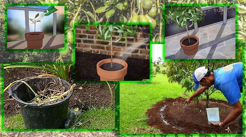 pemeliharaan tanaman alpukat