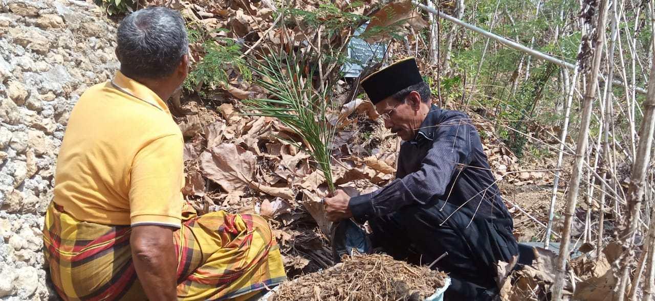 cara menanam pohon kurma yang benar