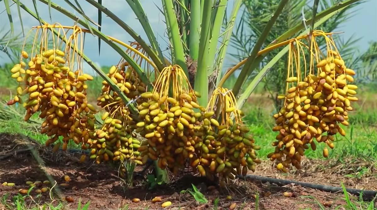 pohon kurma kuning