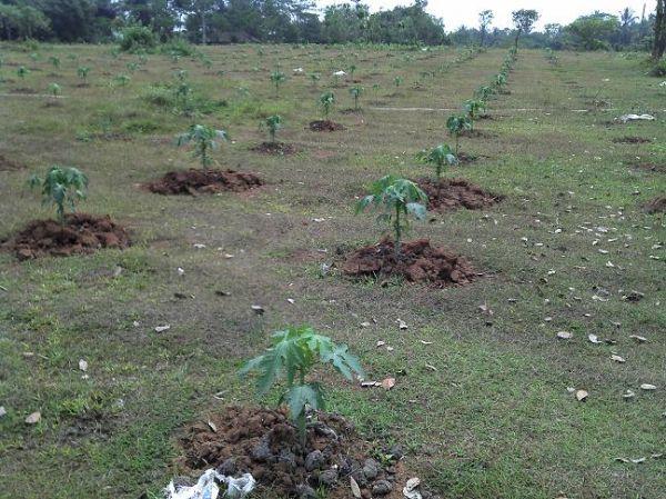 cara mempersiapkan lahan menanam pepaya