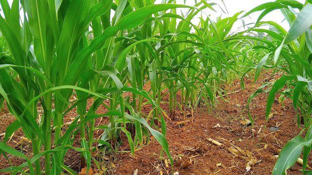 cara menanam jagung - Syarat Tumbuh Jagung