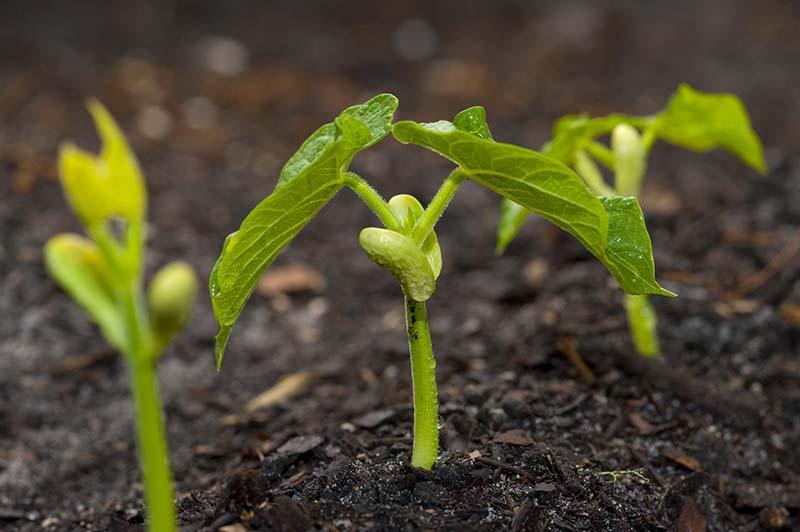 tanam benih kacang hijau